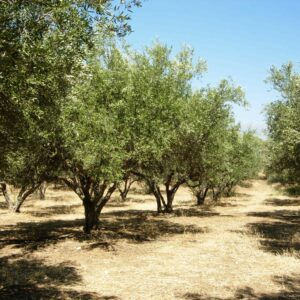 Outdoor olive trees
